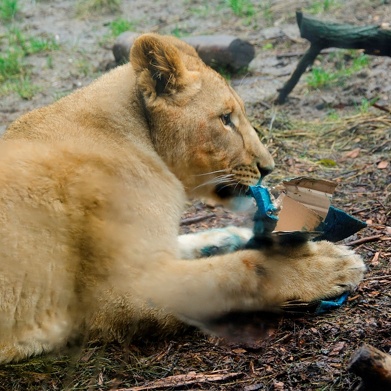 Lion Enrichment