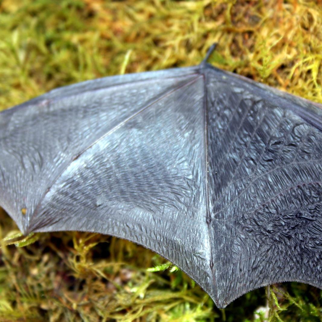 Bat Wing Squared