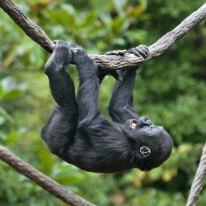 Gorilla from vine