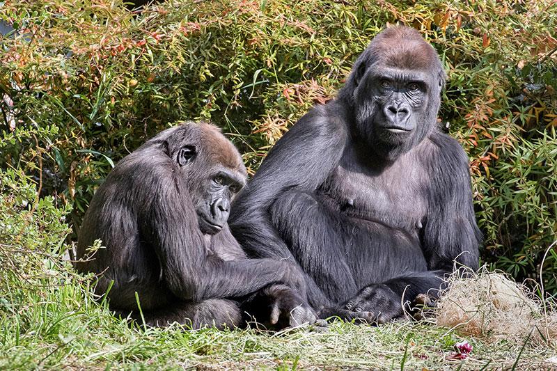 Gorilla Personality Quiz