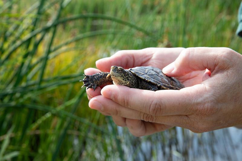 Pond Turtle Preparation