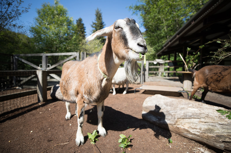 Family farm goat