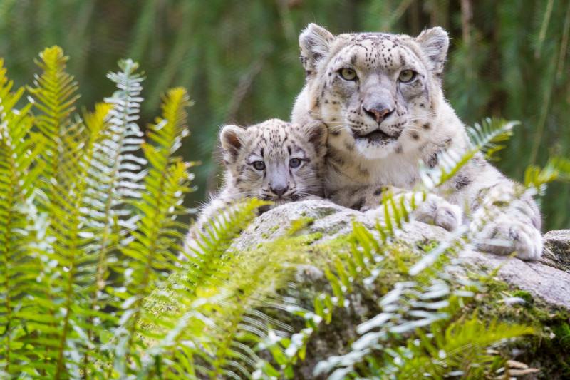conservation breeding woodland park zoo seattle wa