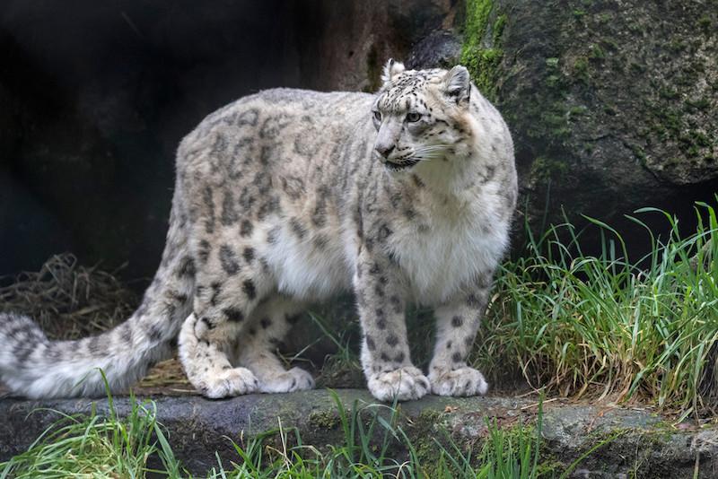 Snow Leopard Trust camera trap