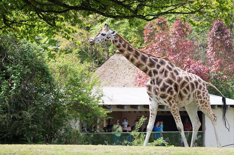 Cheetah at Woodland Park Zoo