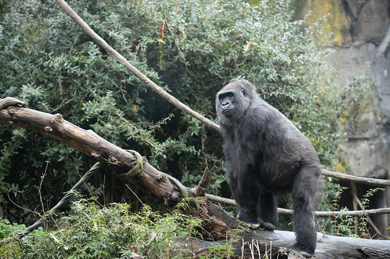 Gorilla Nadiri