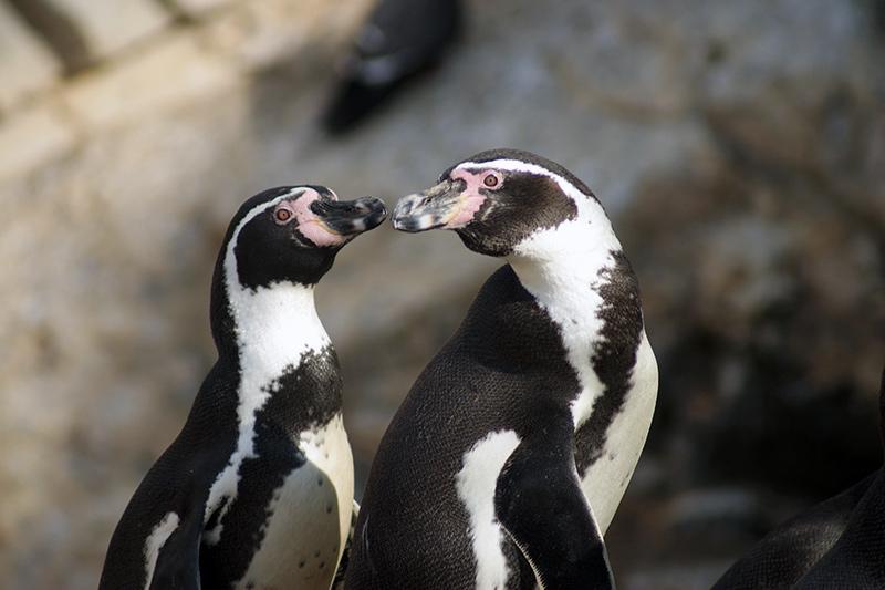Humboldt Penguin Conservation