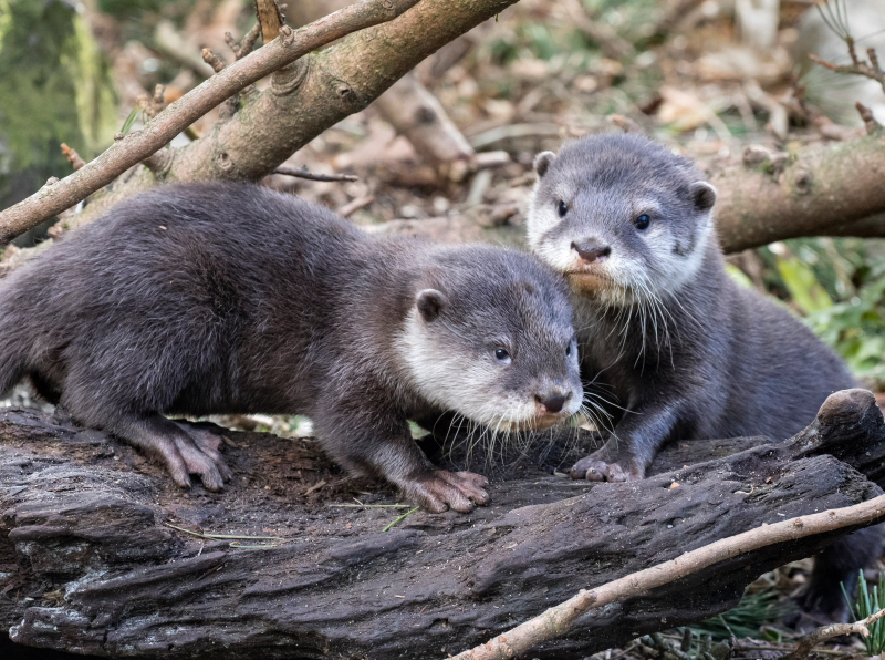 Woody daddy and otter pup