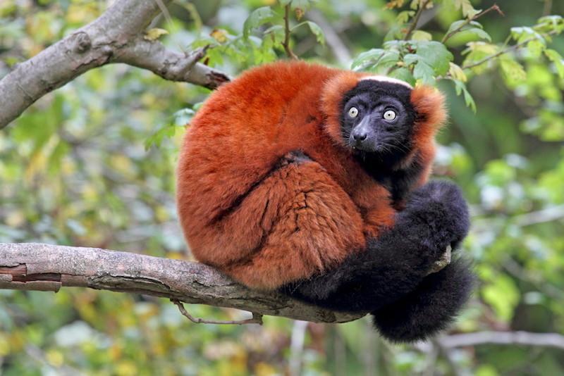 ring tailed lemur husbandry manual