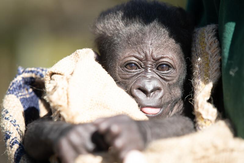 Gorilla baby shower graphic