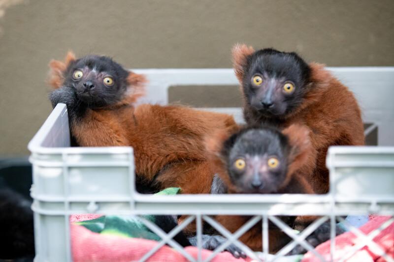 Baby lemur photo
