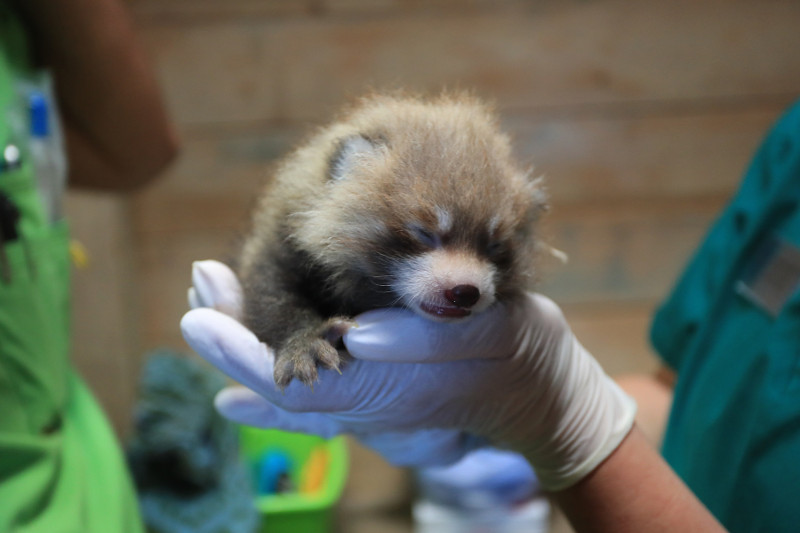 Red Panda Cub Gets Exam
