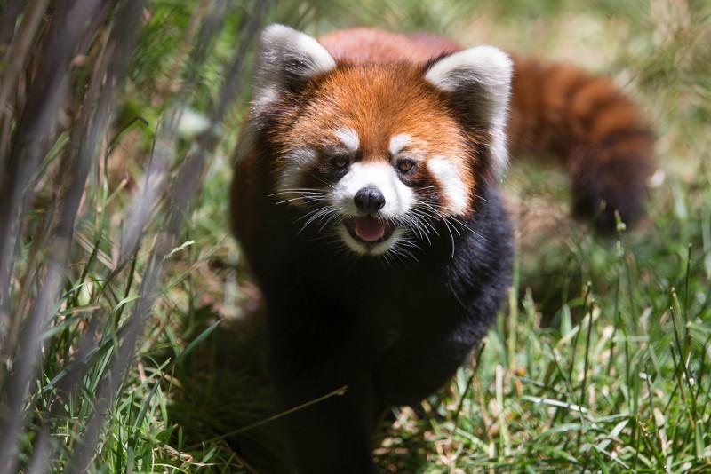 red panda Hazel
