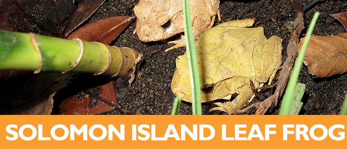 Solomon Island Skink Lifespan