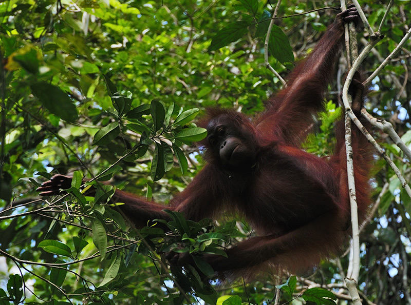 Partners for Wildlife - Gunung Palung Orangutan Conservation