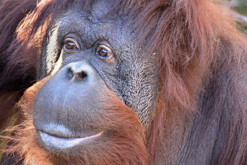 Orangutan 50th Birthday Woodland Park Zoo: Mak...