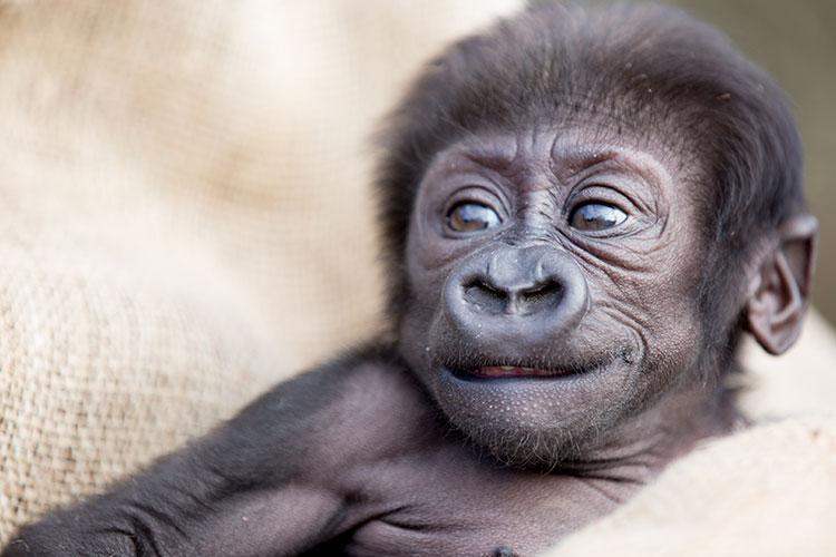Gorilla Baby Naming Contest Woodland Park Zoo Seattle Wa
