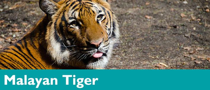 tiger malayan woodland park zoo seattle wa