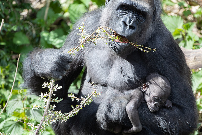 Gorilla Zuna with mom Nadiri