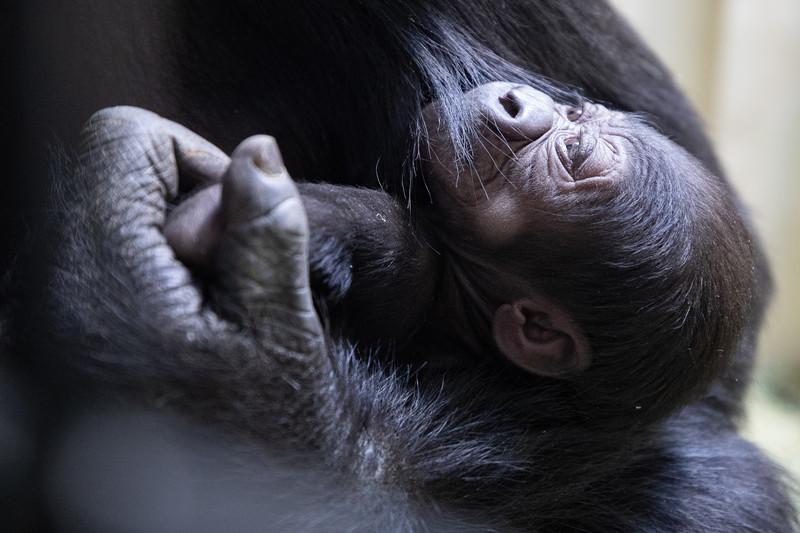 Gorilla Uzumma holding her new baby