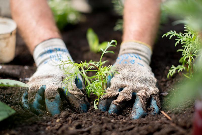Gardeners hands in soil