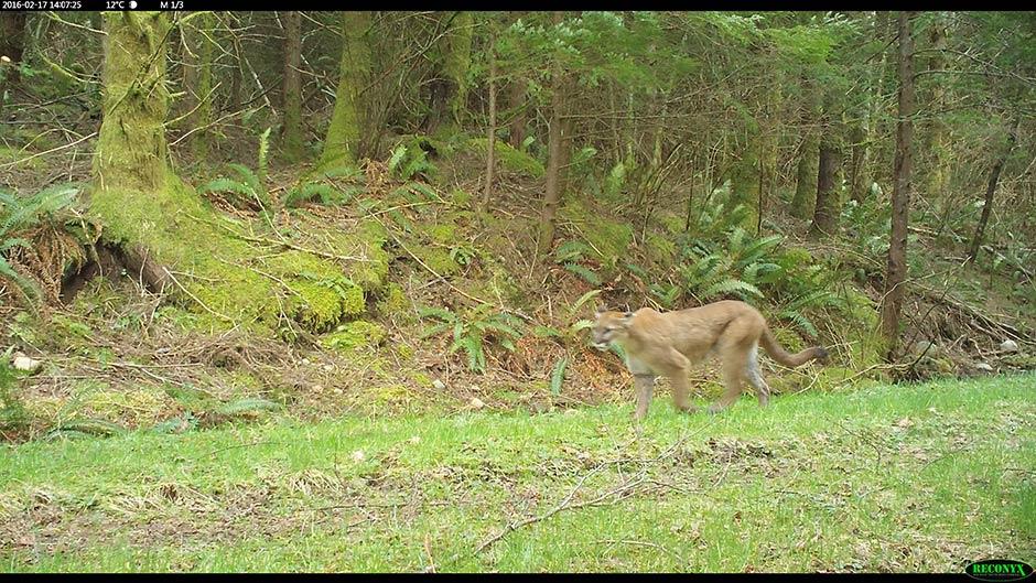 Camera trap photo of a cougar