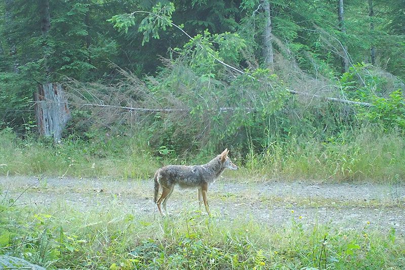 Coyote Camera Trap Photo