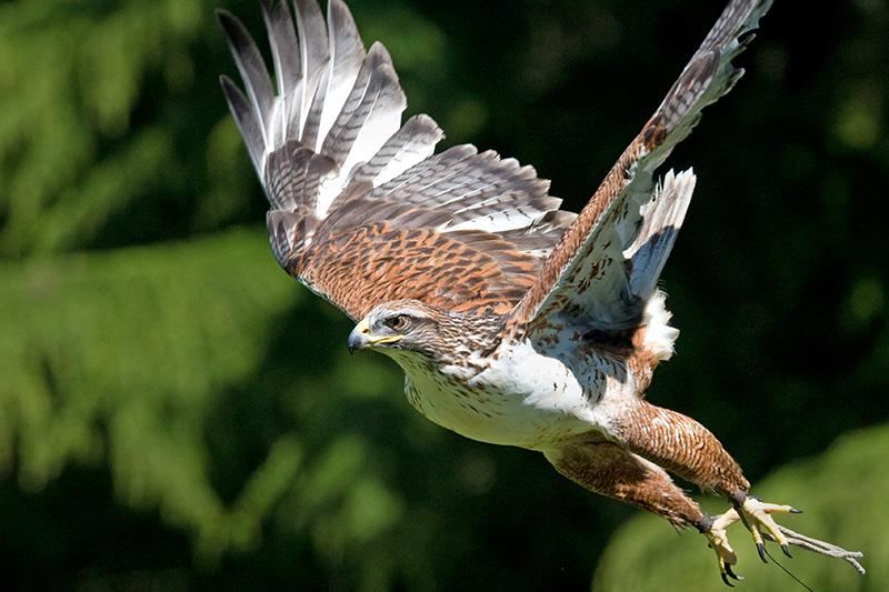 Raptor Ecology Conservation Program Woodland Park Zoo Seattle Wa
