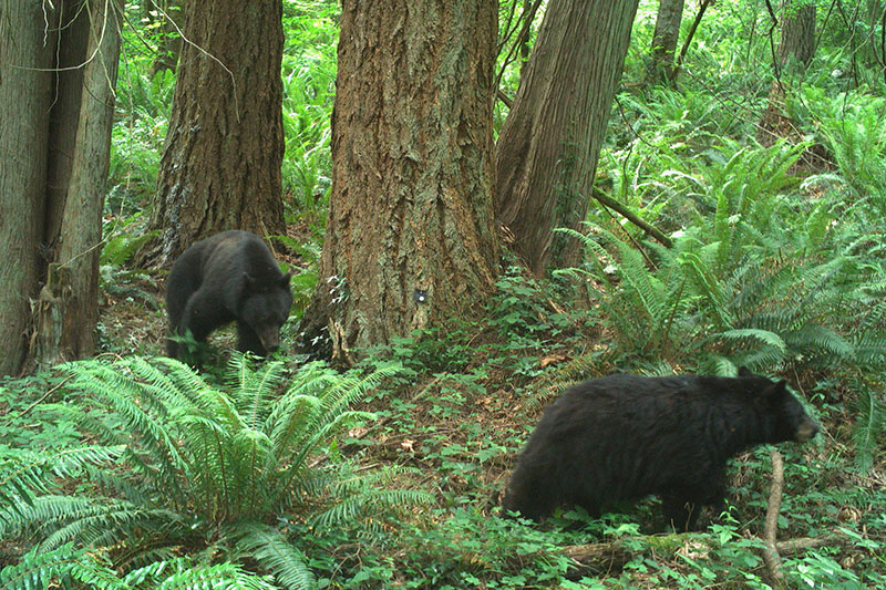Camera trap image of a black bear in the wild