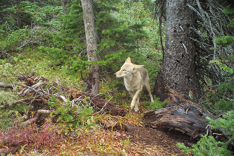 Camera trap image of a Coyote in the wild