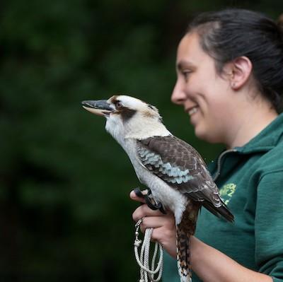 Kookaburra Ambassador Animal Square