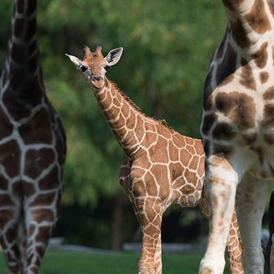 Giraffe Square