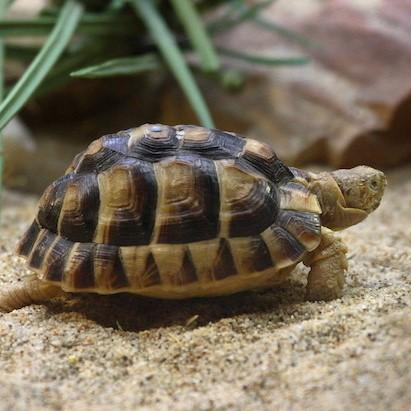 tortoise square