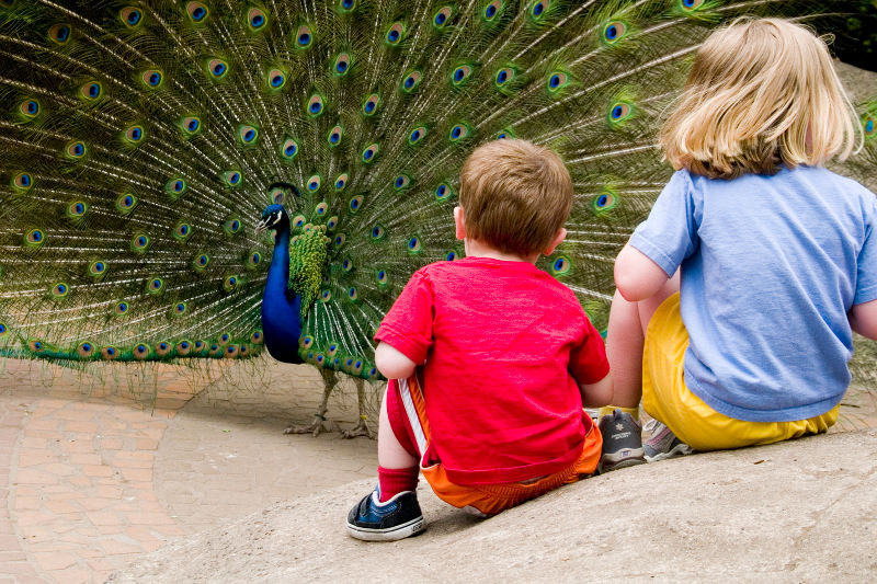 Peacock standing in front of kids