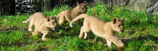 Lion Triplets 600p