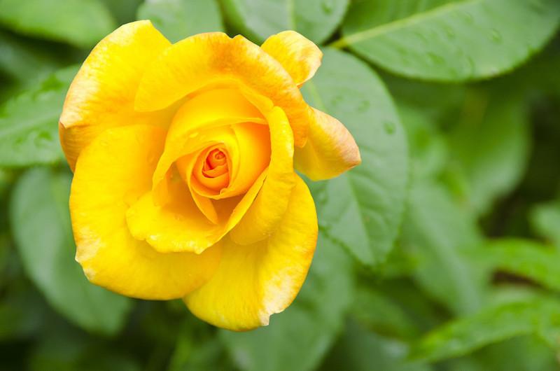 Woodland Park Zoo Rose Garden