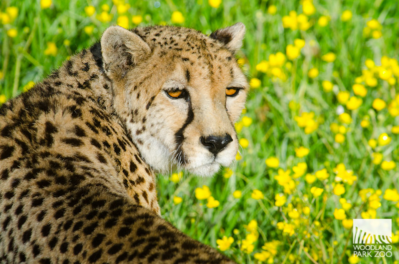 cheetah photo6057- squared.jpg