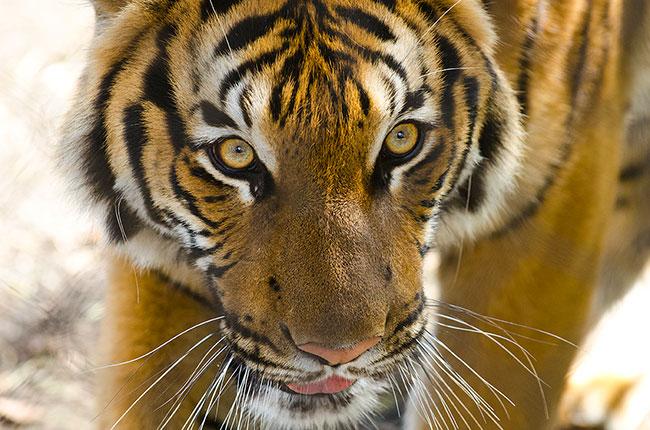 tigercam