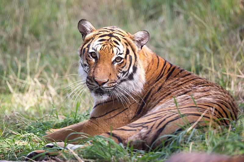 Malayan Tiger Conservation - Woodland Park Zoo Seattle WA