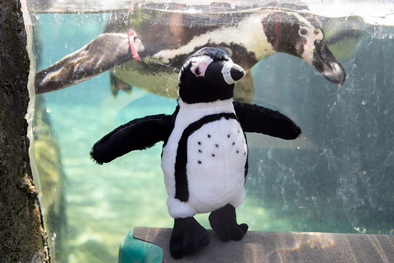 Penguin zooparent plsuh