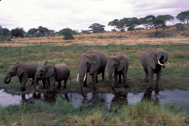 Elephant family in Tarangire