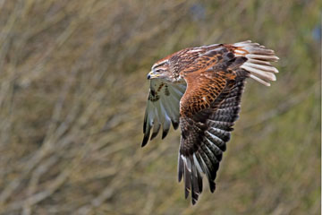 Ferruginous hawk in flight at WPZ