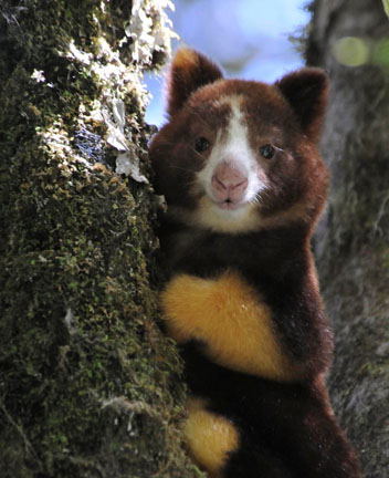 Wild tree kangaroo joey with his mother at Wasaunon research site, Papua New Guinea. Photo by Bruce Beehler, Conservation International