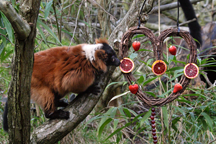 lemur with wreath