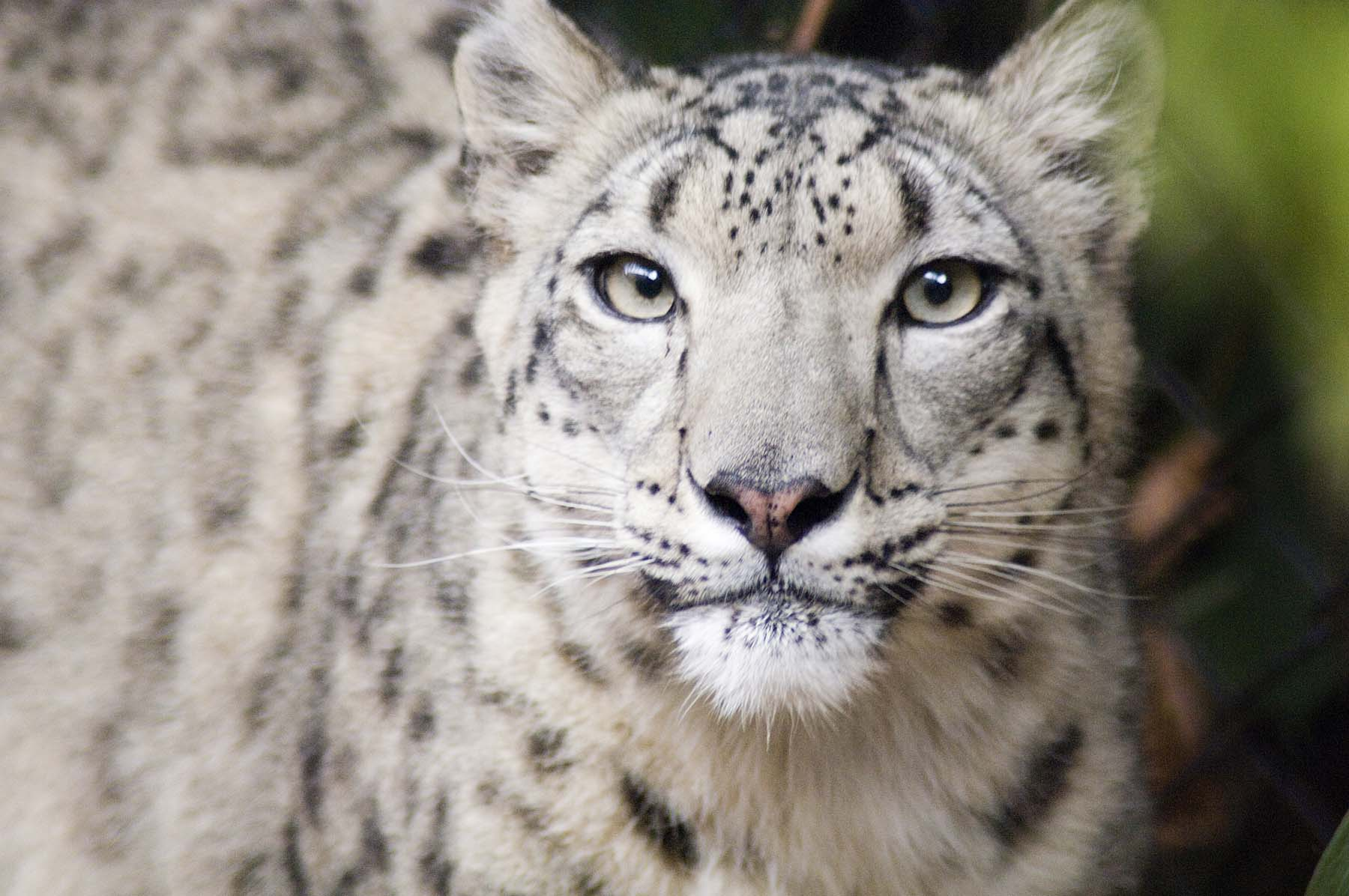 Snow leopard face side - photo#25