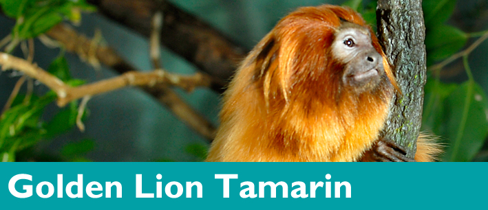 Golden Lion Tamarin - Woodland Park Zoo Seattle WA