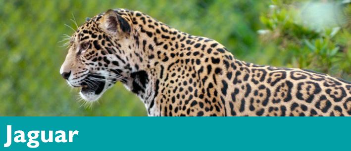 Jaguar Zoo Habitat