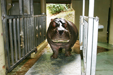 Guadalupe the hippo on a scale