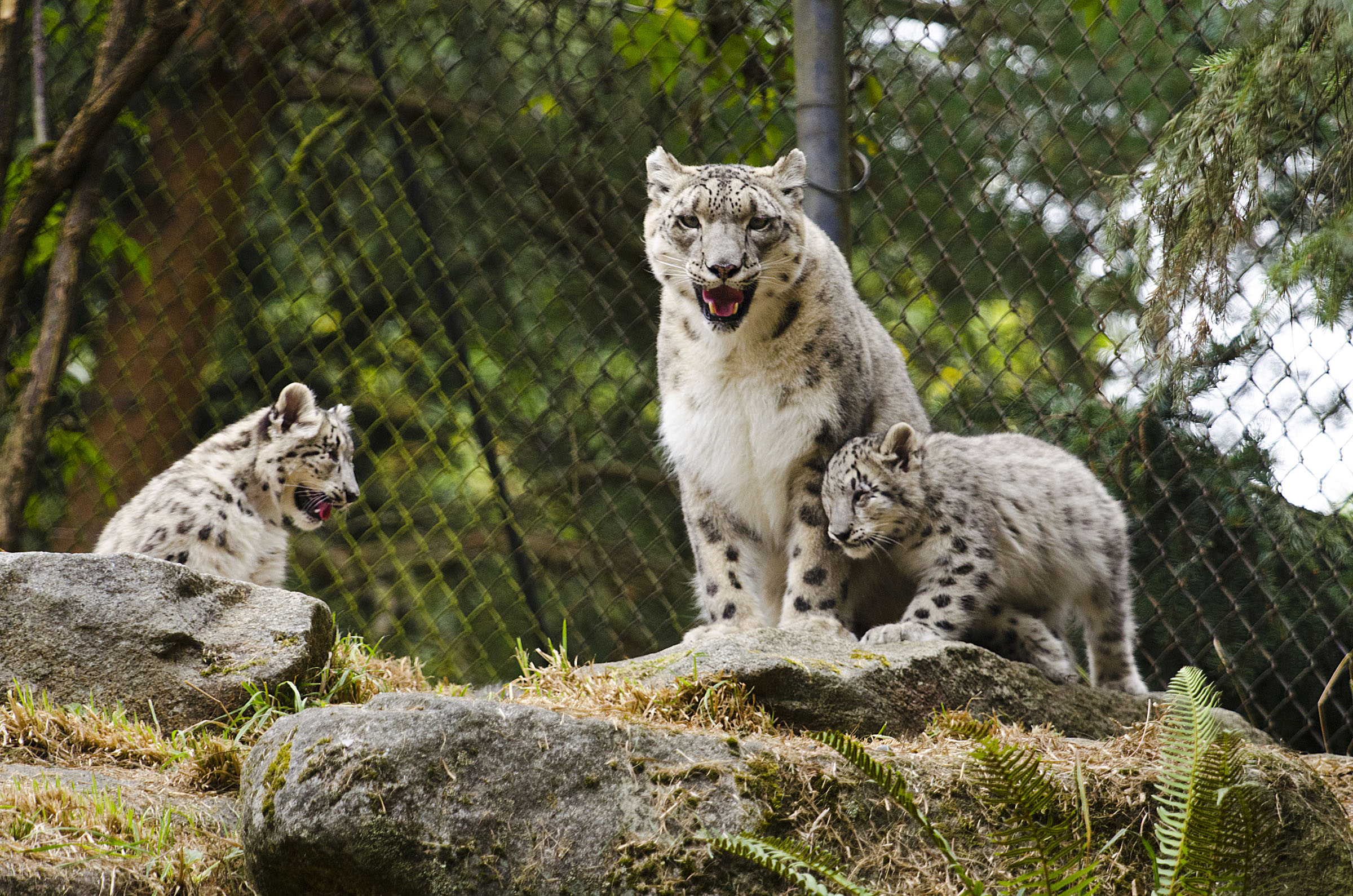 Meet the adorable snow leopard cubs at Seattle's Woodland ... Leopard Cubs With Mother