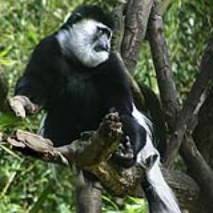 Colobus Monkey Keeper Talk